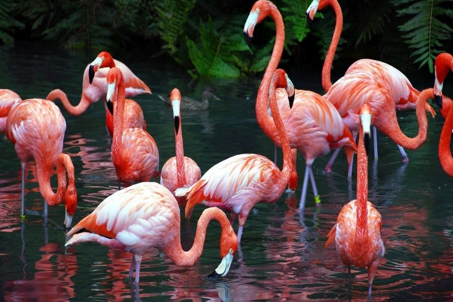 Flamencos bañándose