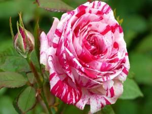 Linda rosa de dos colores