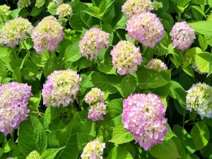 Vistosas hortensias