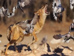 Lobo rodeado de palomas