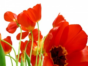 Brillantes tulipanes de color rojo