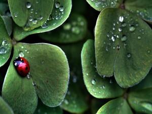 Mariquita en las hojas con las gotas de rocío