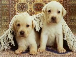 Dos labradores debajo de una alfombra