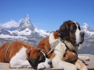 Dos perros San Bernardo tumbados