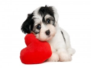 Perrito sobre un almohadón con forma de corazón