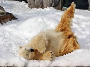 Oso polar tumbado en la nieve