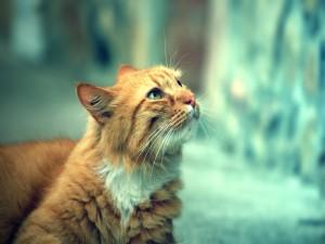 Gato rubio de mirada inteligente