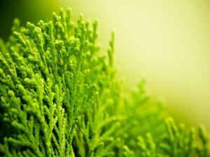 Planta verde clorofila