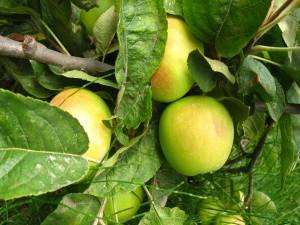 Manzanas verdes en la rama