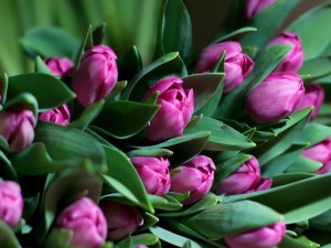 Tulipanes color púrpura entre las hojas