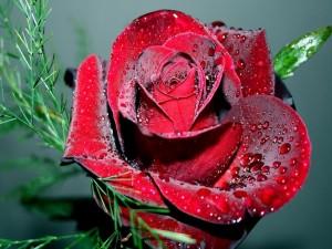 Rosa de color rojo con gotas de rocío