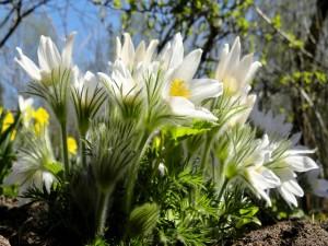 Flores de anémona blancas en primavera