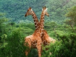 Jirafas en el Valle de Zambezi, Zambia