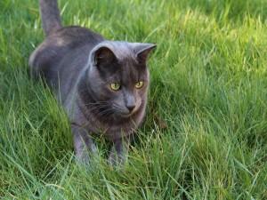 Gato gris con los ojos verdes sentado en la hierba