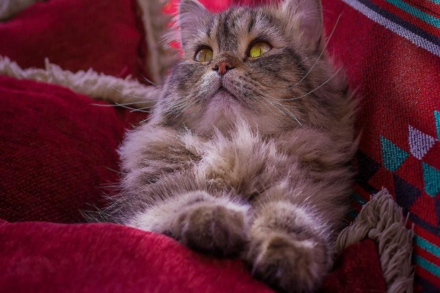 Gato gris entre almohadones