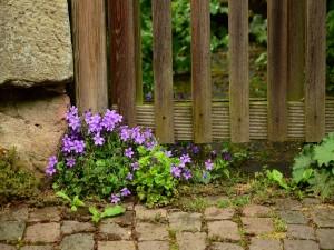 Delicadas campanillas púrpuras junto a una puerta de madera