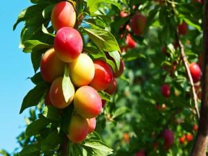 Frutos de ciruelo en primavera