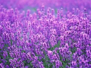 Flores violetas de lavanda