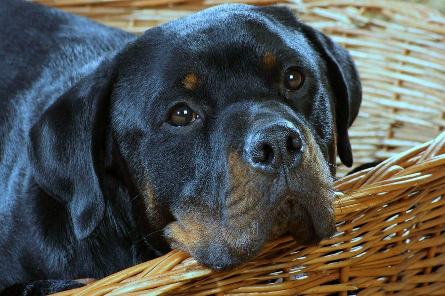 Perro rottweiler en una cesta