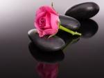 Rosa de color rosa sobre unas piedras