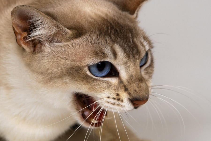 Gatito maullando