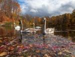 Cisnes en el río