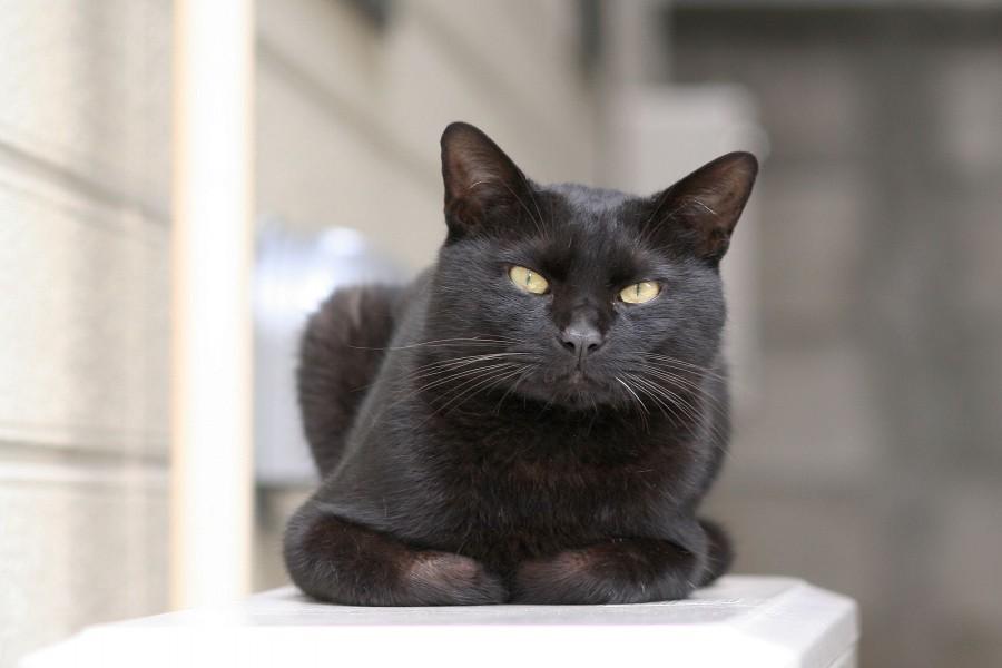 Gato negro de frente