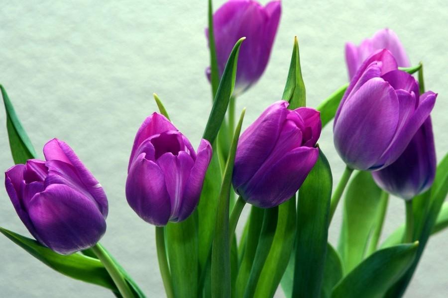 Tulipanes de color púrpura
