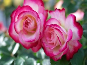 Rosas blancas y rosadas