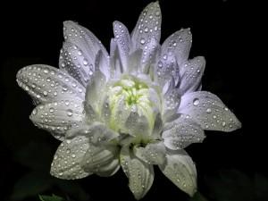 Magnífico crisantemo blanco con gotas de rocío