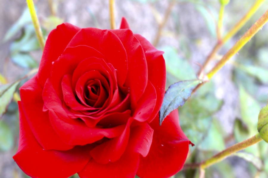 Hermosa rosa roja