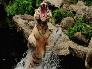 Tigre enojado saltando fuera del agua