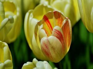 Radiante tulipán amarillo