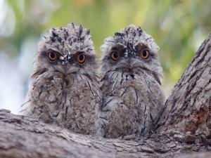 Dos mochuelos en la corteza del árbol