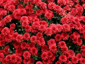 Crisantemos rojos