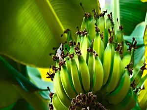 Plátanos madurando