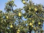Espléndidas peras en el árbol