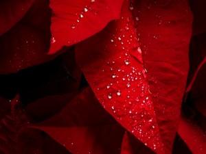 Hojas rojas con gotas de rocío