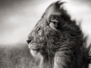 León en blanco y negro