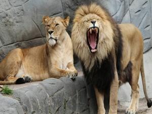 León y leona en el zoológico