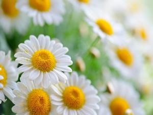 Margaritas repletas de polen