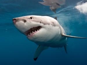 El temido tiburón