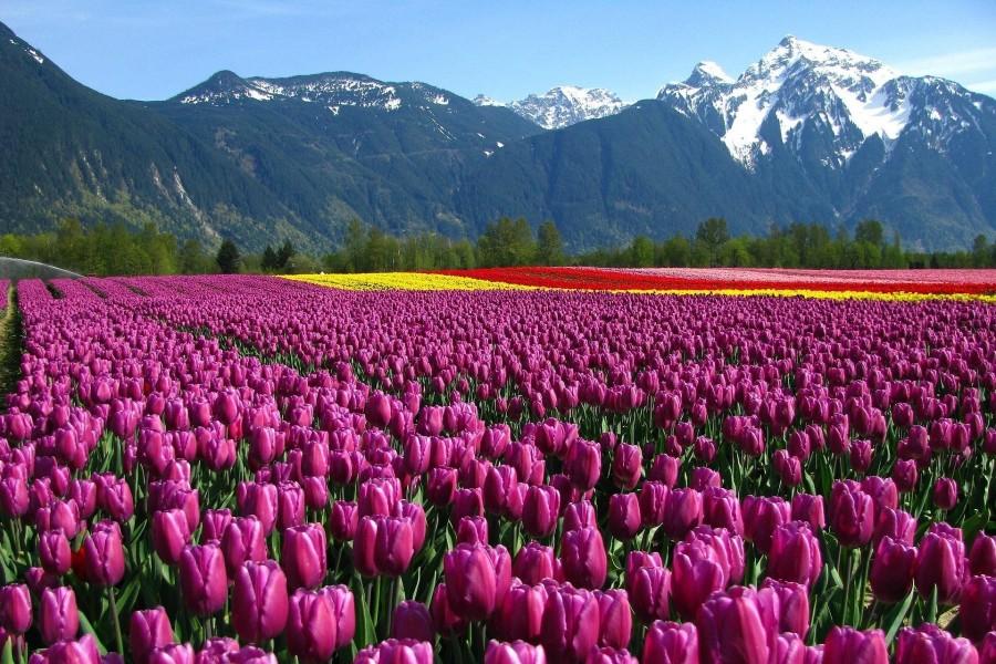 Campo de tulipanes al pie de la montaña