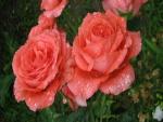 Rosas recién regadas