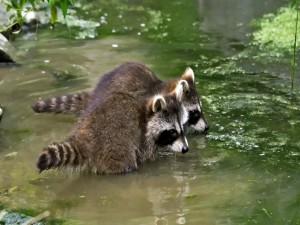 Cachorros de mapaches en el agua del estanque