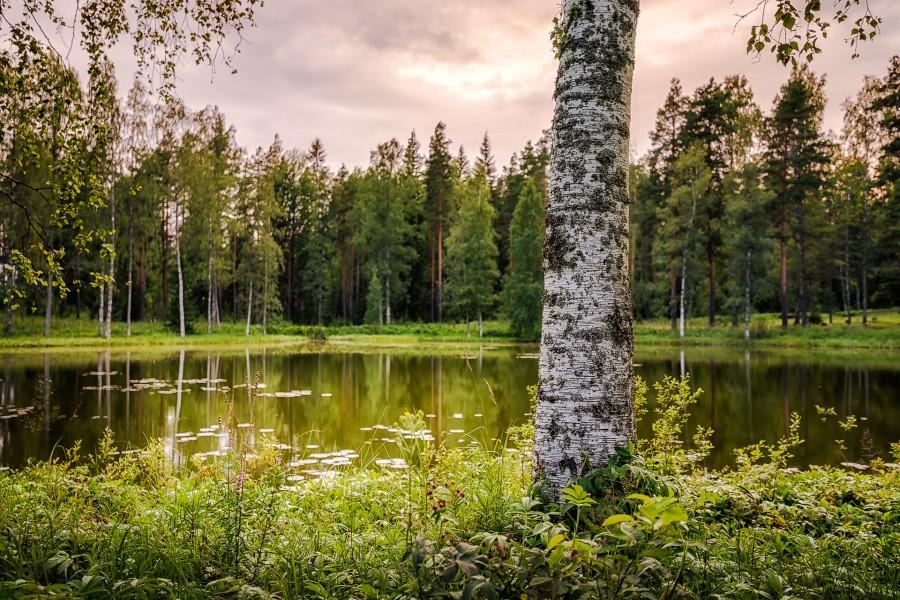 Abedules a orillas del lago