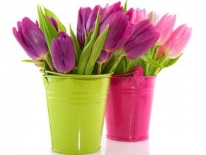 Tulipanes en baldes