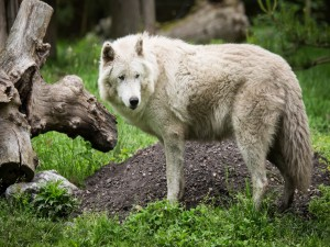 Postal: Lobo en la hierba