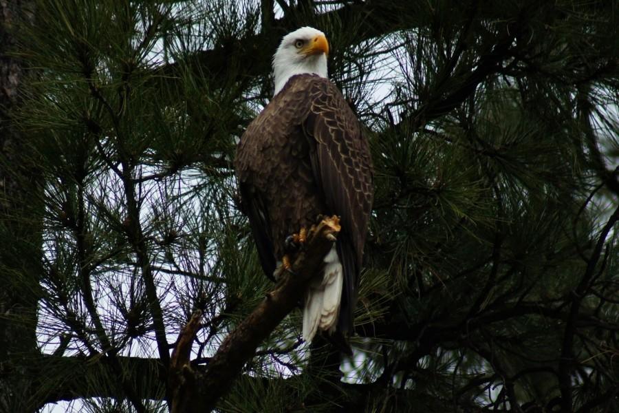 Águila calva sobre un tronco