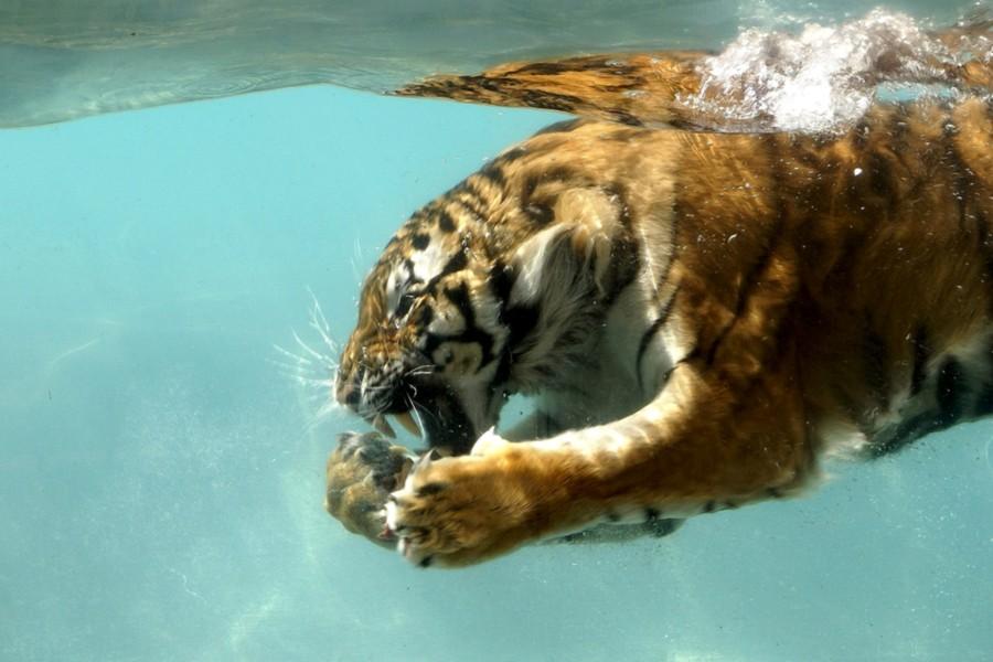 Tigre bajo el agua